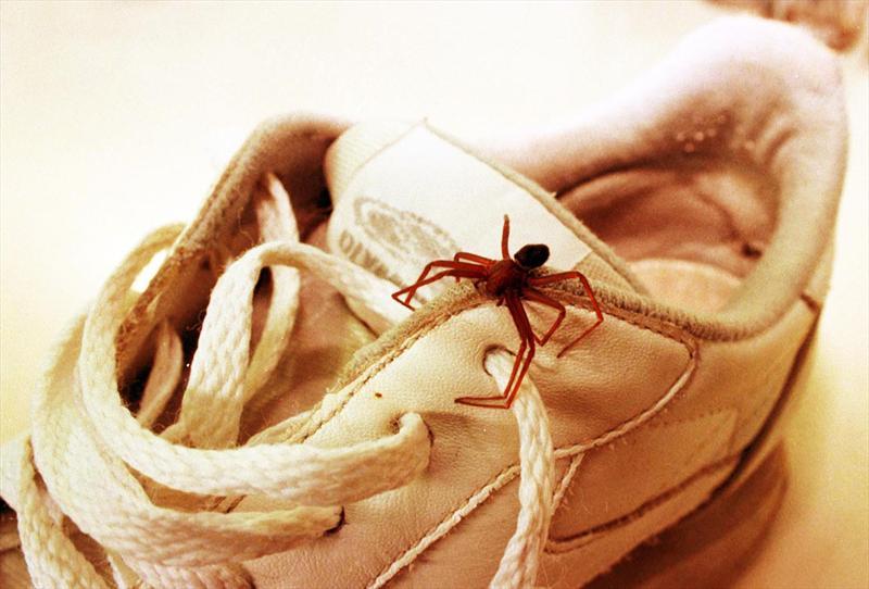 Aranhas-marrons se escondem em roupas e calçados (Foto: Divulgação)