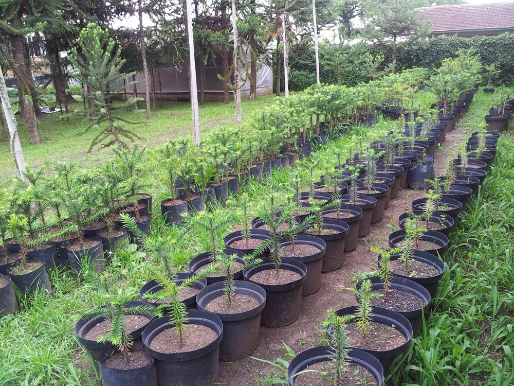 Cultivo de Pinheiros na UFPR para futura distribuição para a comunidade  (Foto: Flávio Zanette)